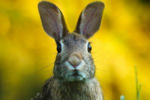 Brown rabbit face and ears